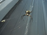 ... a fine Black & Yellow Argiope, the most helpfully voracious Garden Spider, here controlling leafhoppers in the shed yard. Oh well...