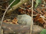 ...an estivating Box Turtle in the shady, muddy hollow above the spring