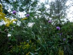 Field thistle: white underleaves: vegetal coagulant for cheese-making