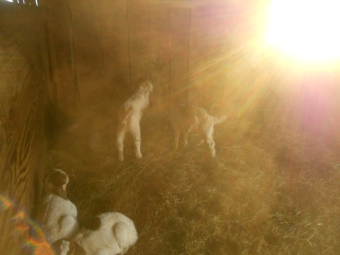 ... and in the barn, the kids come out of their huddled nap, ready for hay, and play